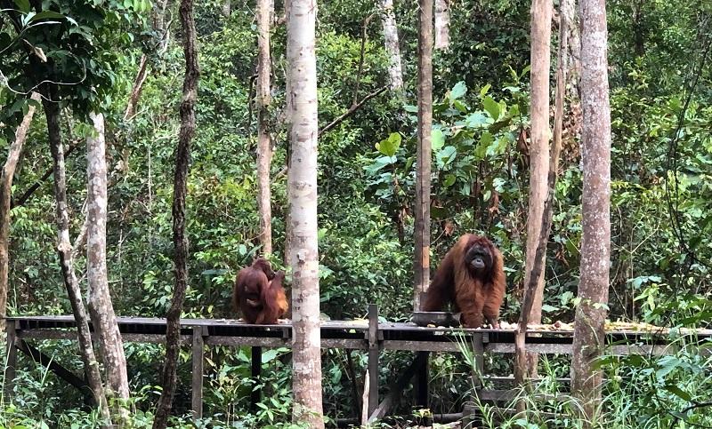 https: img.okezone.com content 2019 09 30 406 2111096 pariwisata-tanjung-puting-bantu-keberlangsungan-hidup-orangutan-UWHD5KhX7Z.jpg