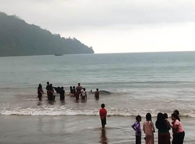 https: img.okezone.com content 2019 10 07 340 2114064 hiu-tutul-tewas-terdampar-di-perairan-laut-batang-kapas-jeJrYatv3d.jpg