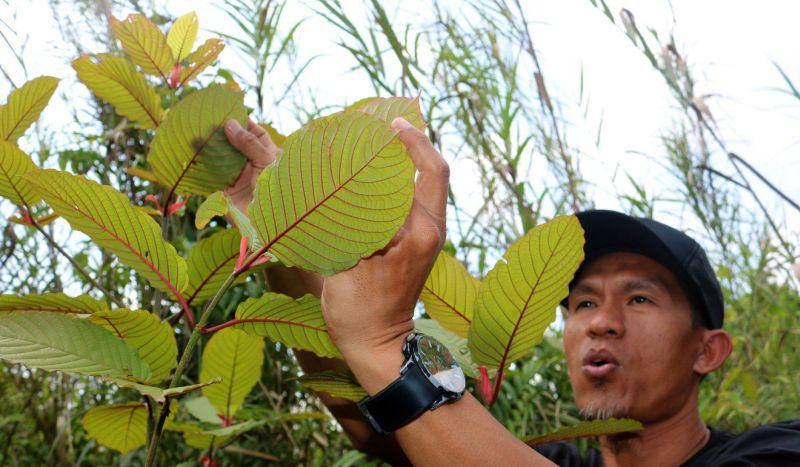 https: img.okezone.com content 2019 10 09 481 2114610 kratom-tumbuhan-herbal-asal-indonesia-yang-jadi-narkoba-di-amerika-NbjrXhVULn.jpg