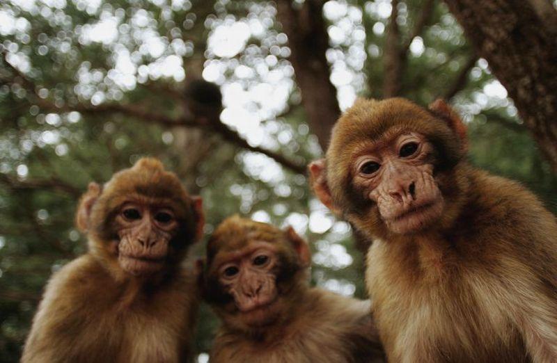 https: img.okezone.com content 2019 10 10 65 2115246 monyet-dan-kera-memang-mirip-tetapi-simak-perbedaannya-ymoUWwSQsl.jpg