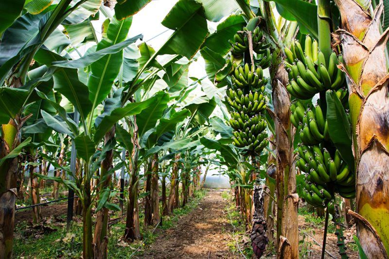 https: img.okezone.com content 2019 10 12 481 2116119 lagi-viral-ini-7-manfaat-tersembunyi-batang-pohon-pisang-QhQbu7NY2A.jpg