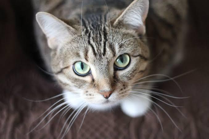 https: img.okezone.com content 2019 10 16 612 2117700 kucing-ini-diinfus-usai-bercinta-dengan-5-ekor-betina-DS8Xbd5aOJ.jpg