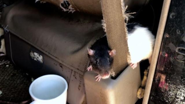 https: img.okezone.com content 2019 10 18 18 2118833 wanita-yang-hidup-bareng-dengan-320-tikus-minta-bantuan-ZwYCkU7jyp.jpg