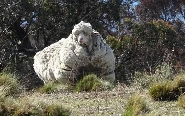 https: img.okezone.com content 2019 10 22 18 2120390 chris-domba-yang-terkenal-karena-memiliki-bulu-terberat-mati-CSxGtplKPN.jpg