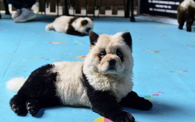 https: img.okezone.com content 2019 10 25 406 2121612 anjing-dicat-mirip-panda-kafe-instagramable-asal-china-ini-dicekal-aktivis-hewan-x9oTbn3Cmq.jpg