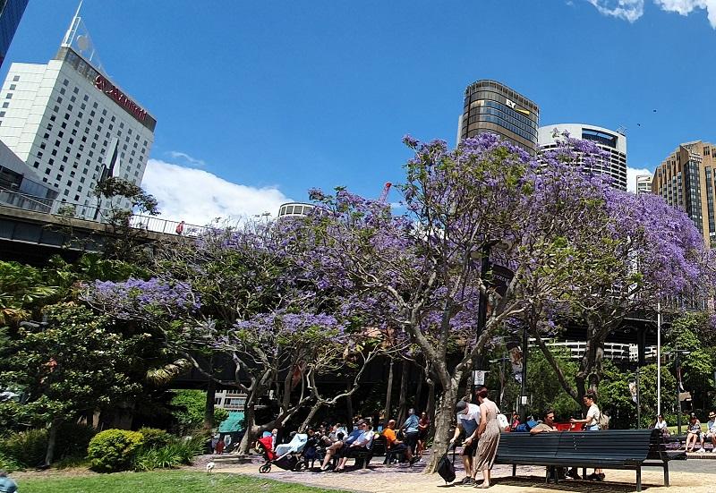 https: img.okezone.com content 2019 11 04 406 2125713 eksotisnya-bunga-jacaranda-daya-pikat-sydney-di-musim-semi-ubDXbJH75f.jpg
