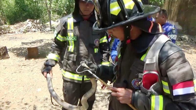 https: img.okezone.com content 2019 11 05 609 2126203 ular-king-kobra-masuk-rumah-warga-proses-evakuasi-berlangsung-dramatis-4GpoOq5RMD.jpg