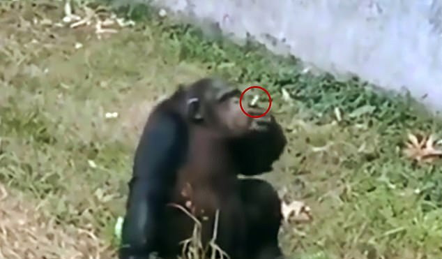 https: img.okezone.com content 2019 11 06 18 2126464 seekor-simpanse-terekam-mengisap-rokok-seperti-manusia-di-bonbin-china-ph2IAFUU6Z.jpg