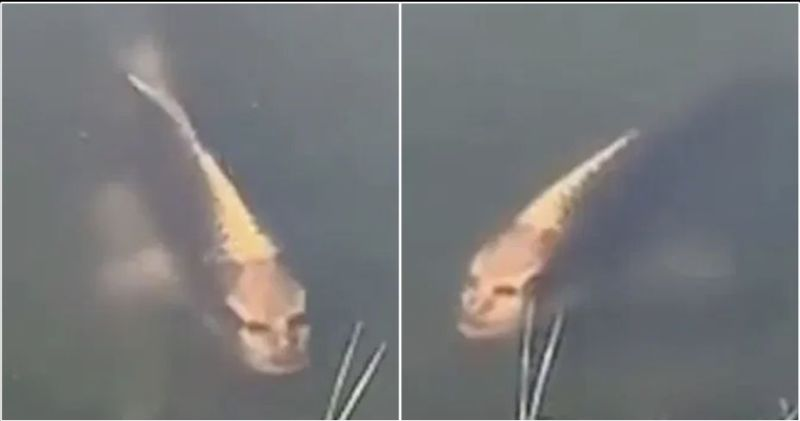 https: img.okezone.com content 2019 11 10 18 2128064 ikan-mas-dengan-wajah-manusia-ditemukan-di-desa-wisata-china-EJeWjvwJ59.jpg