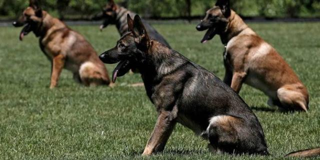 https: img.okezone.com content 2019 11 15 18 2130372 prajurit-pasukan-khusus-austria-tewas-digigit-anjing-militer-bagYAeyo0i.jpg