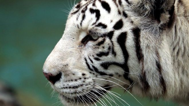 https: img.okezone.com content 2019 11 17 610 2130886 seorang-wisatawan-diterkam-harimau-putih-di-kawasan-gunung-dempo-sumsel-Xriw1k4qJA.jpg