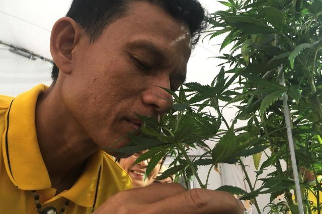 https: img.okezone.com content 2019 11 20 18 2132235 thailand-akan-izinkan-warganya-menanam-ganja-di-rumah-lalu-dijual-ke-pemerintah-gA9D8wryp7.jpg