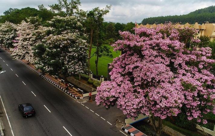 https: img.okezone.com content 2019 11 23 406 2133595 bunga-tabebuya-di-magelang-mekar-ketiga-kalinya-tahun-ini-cantik-banget-sfHsFEFq0C.jpg