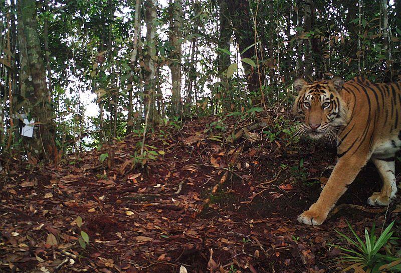 https: img.okezone.com content 2019 12 07 340 2139230 tim-gabungan-tangkap-4-pemburu-4-janin-kulit-harimau-diamankan-936yo1psN1.jpg