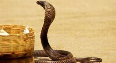 https: img.okezone.com content 2019 12 10 330 2140141 puluhan-kobra-muncul-di-permukiman-bolehkah-membunuh-ular-di-dalam-rumah-XuUcCeN1nU.jpg