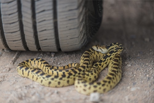 https: img.okezone.com content 2019 12 10 52 2140155 bagian-mobil-yang-biasa-menjadi-tempat-persembunyian-ular-FlO1kHajyp.jpg