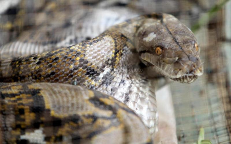 https: img.okezone.com content 2019 12 14 340 2141888 ular-piton-raksasa-mangsa-kambing-gegerkan-warga-kotawaringin-timur-KU42xlbelZ.jpg