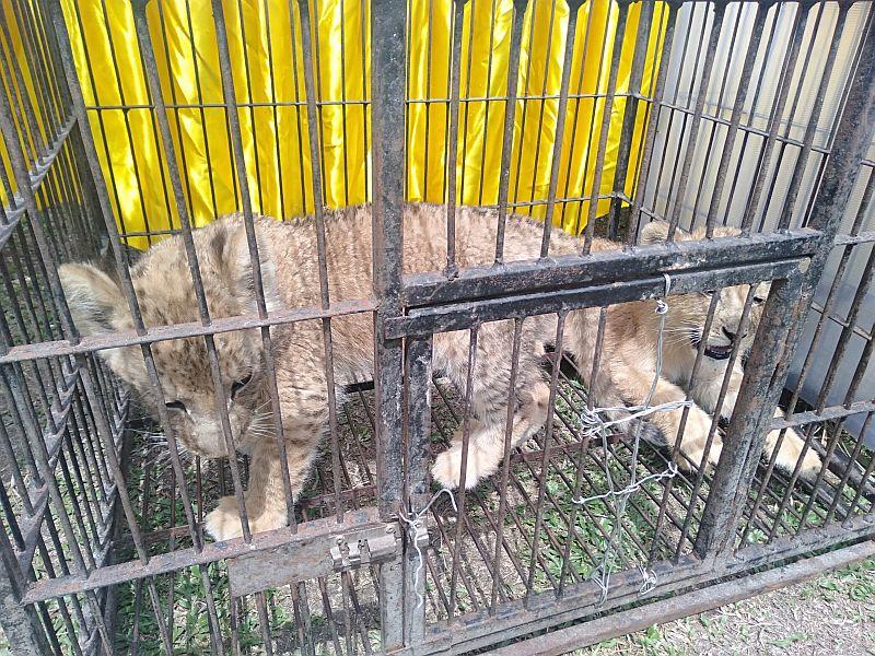 https: img.okezone.com content 2019 12 15 340 2142167 polda-riau-gagalkan-penyelundupan-4-anak-singa-dan-leopard-ZUmMEoGBC2.jpg