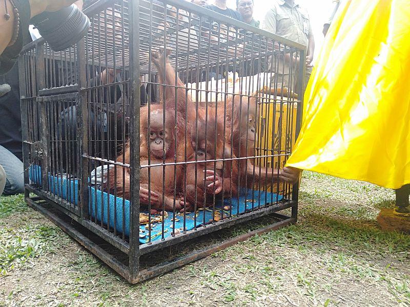 https: img.okezone.com content 2019 12 15 340 2142182 3-orangutan-ditemukan-warga-di-dalam-kardus-dekat-jembatan-pekanbaru-n7yFsb3LBk.jpg