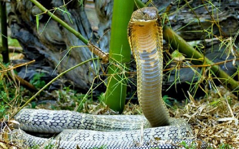 https: img.okezone.com content 2019 12 16 338 2142372 warga-kembangan-dihebohkan-kemunculan-ular-kobra-di-permukiman-o22AidmlRT.jpg