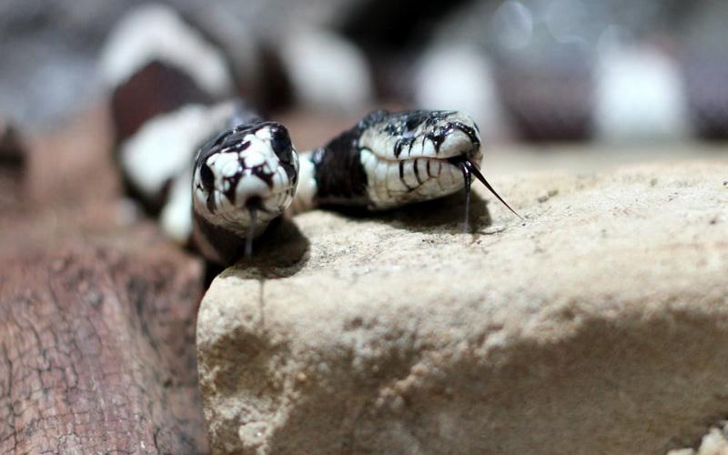 https: img.okezone.com content 2019 12 16 612 2142712 heboh-kemunculan-ular-kobra-berkepala-dua-Opq7T5fYYN.jpg