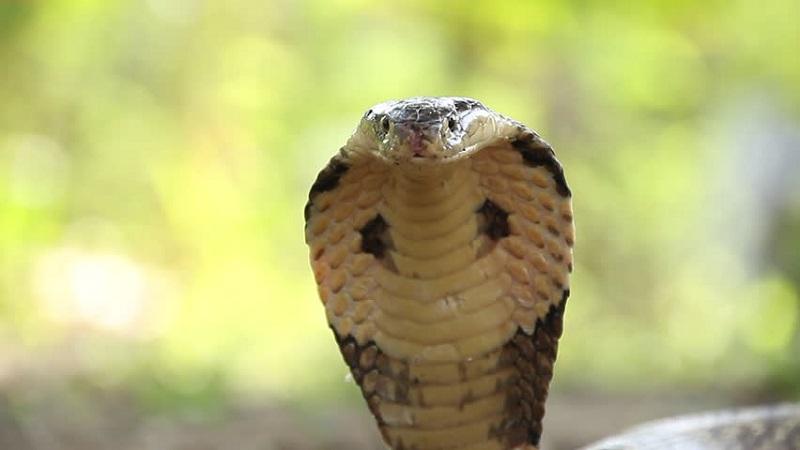 https: img.okezone.com content 2019 12 17 481 2142951 idi-harap-serum-anti-bisa-ular-tersedia-di-puskesmas-FrSfIbpYBw.jpg