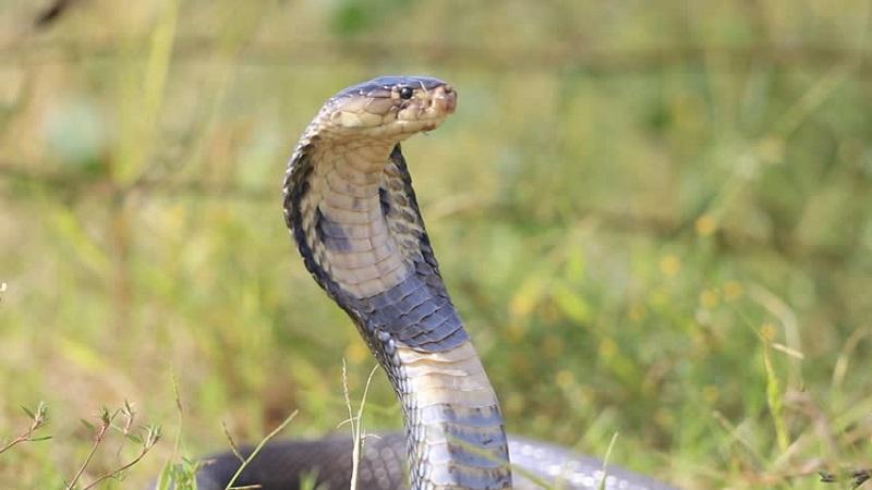 https: img.okezone.com content 2019 12 17 612 2143058 ini-faktor-pemicu-banyak-ular-kobra-nekat-masuki-pemukiman-warga-UuIku5yRk8.jpg