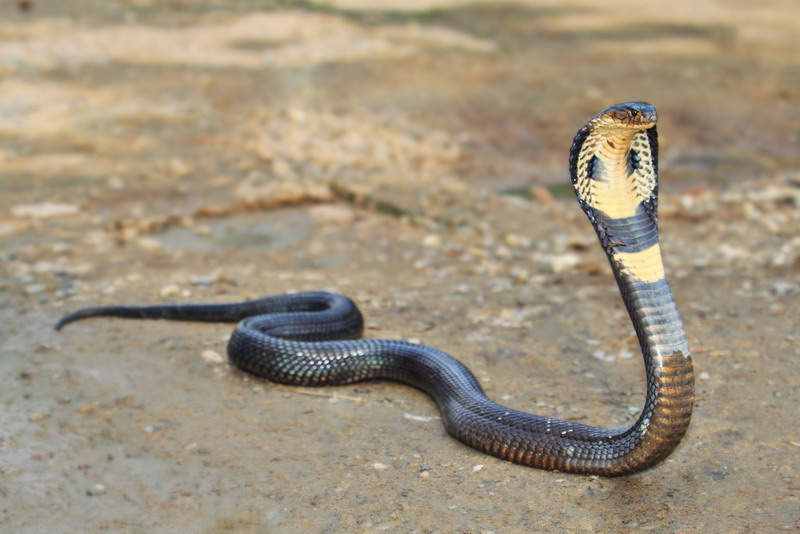 https: img.okezone.com content 2019 12 18 338 2143361 30-cangkang-ular-kobra-ditemukan-di-perumahan-bekasi-petugas-sudah-ditangkap-semua-0ylGaiuasy.jpg