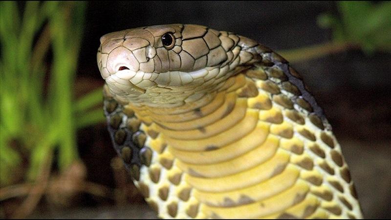 Ular Kobra Bisa Muncul Di Helm Dan Rak Sepatu Perhatikan Cara
