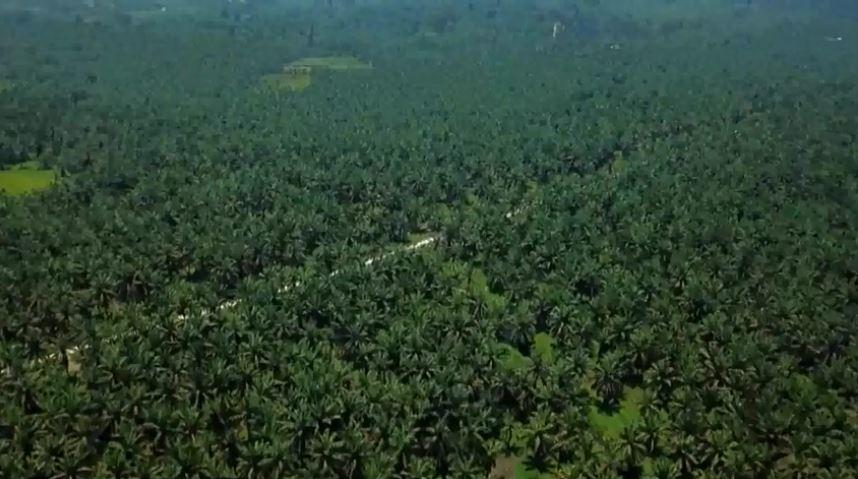 https: img.okezone.com content 2019 12 23 320 2145199 kelapa-sawit-komoditas-primadona-di-pasangkayu-H7nBpU7GEn.JPG