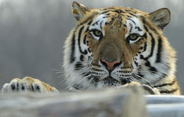 https: img.okezone.com content 2019 12 24 18 2145648 detik-detik-harimau-sergap-bocah-di-kebun-binatang-TOgCroiaKN.jpg