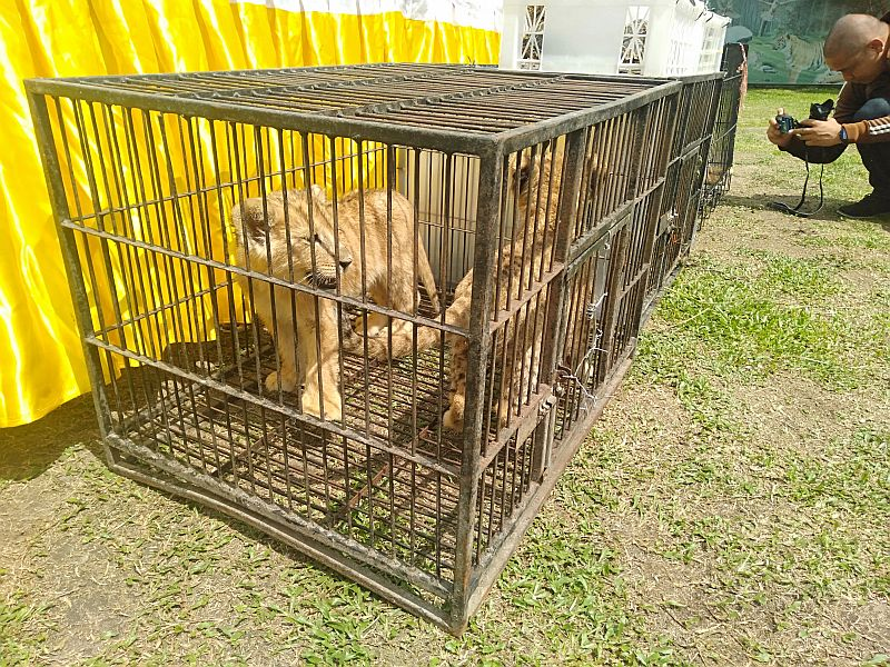 https: img.okezone.com content 2019 12 31 340 2147928 polisi-kembali-tangkap-2-tersangka-penyelundupan-anak-singa-dan-leopard-ZEC41I3q9M.jpg