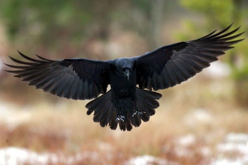 https: img.okezone.com content 2020 01 07 614 2150083 ayat-alquran-dan-burung-gagak-sebagai-hewan-tercerdas-feu0sQaGLM.jpg