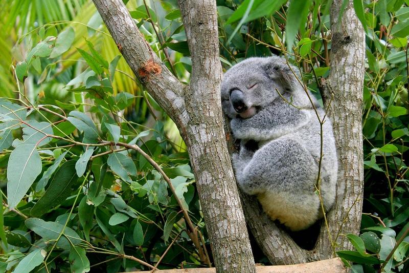 https: img.okezone.com content 2020 01 15 65 2153370 kenali-hewan-koala-yang-viral-akibat-kebakaran-hutan-australia-TO71eskMn0.jpg