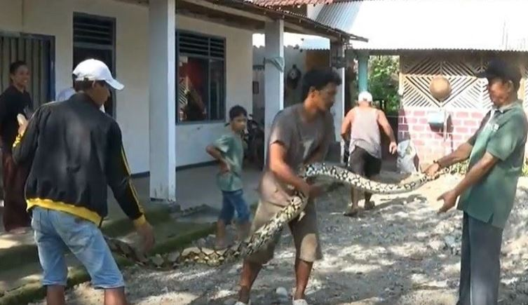 https: img.okezone.com content 2020 01 23 519 2157042 ular-sanca-3-meter-ditangkap-usai-makan-ayam-milik-warga-1Ubuj8yTDx.JPG