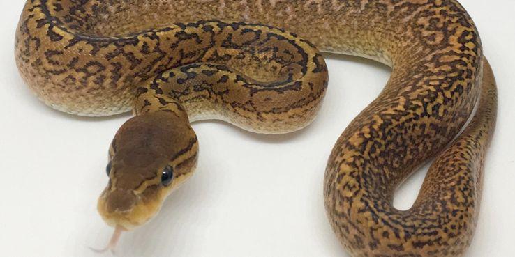 https: img.okezone.com content 2020 01 24 481 2157548 peneliti-temukan-fakta-baru-virus-korona-wuhan-menyebar-lewat-ular-POxI0djAnq.jpg