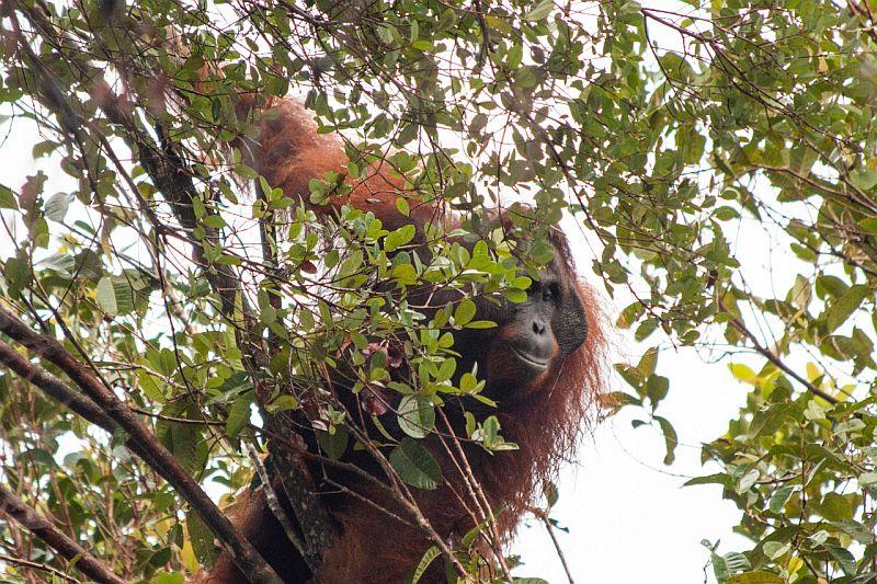 https: img.okezone.com content 2020 01 27 340 2158912 penambangan-dan-penebangan-pohon-ilegal-buat-orangutan-masuk-kebun-warga-Pdhok8hBgP.jpg