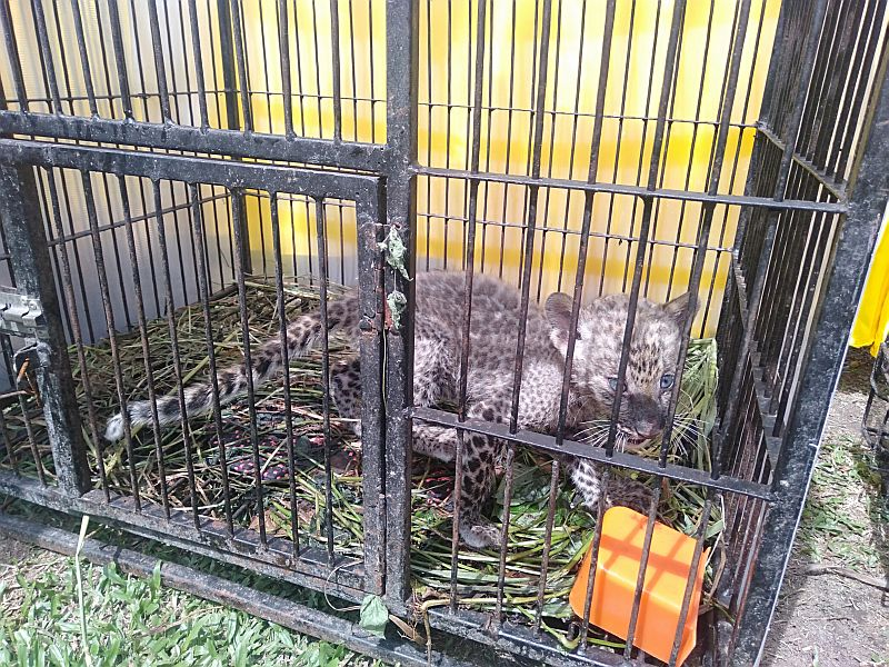 https: img.okezone.com content 2020 02 04 340 2162924 anak-leopard-sitaan-polda-riau-mati-ini-penyebabnya-DMQETPc7U5.jpg
