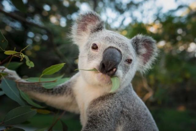 https: img.okezone.com content 2020 02 05 18 2163446 puluhan-koala-mati-di-hutan-produksi-australia-harusnya-malu-YczvzJX7Ol.jpg
