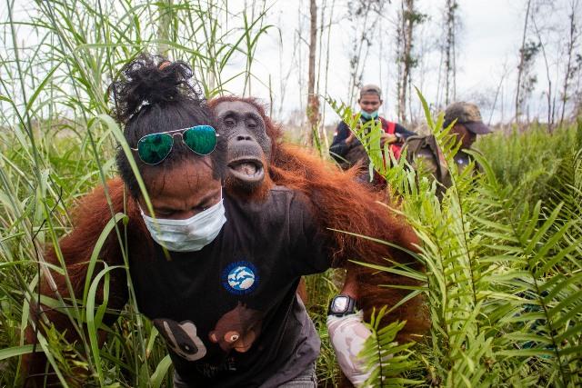 https: img.okezone.com content 2020 02 07 340 2165130 dampak-karhutla-masih-menyisakan-luka-penyelamatan-orangutan-terus-dilakukan-iIEAPSphoh.jpg