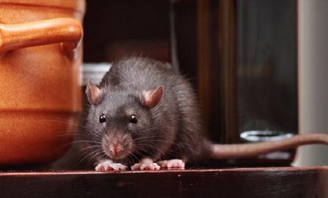 https: img.okezone.com content 2020 02 11 512 2166772 dinkes-sukoharjo-larang-masyarakat-buang-bangkai-tikus-di-jalan-keMg0Sd6qt.JPG