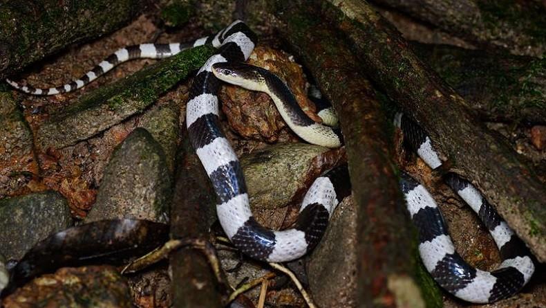 https: img.okezone.com content 2020 02 14 525 2168660 gara-gara-dipatuk-ular-weling-6-orang-tewas-di-jawa-barat-1jgkwzTUdX.jpg
