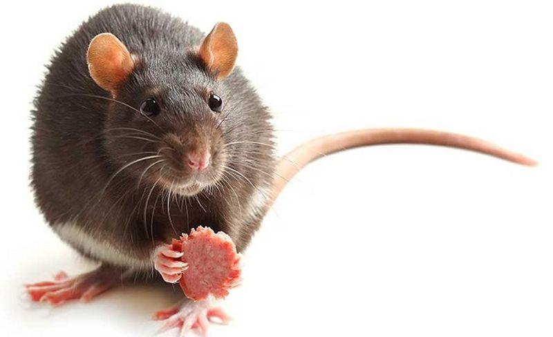 https: img.okezone.com content 2020 02 19 612 2171120 ketika-tikus-adu-jotos-di-stasiun-tertangkap-kamera-iDvrttDVTH.jpg
