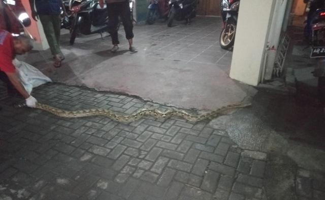 https: img.okezone.com content 2020 02 20 512 2171345 warga-solo-digegerkan-kemunculan-ular-sanca-sepanjang-3-meter-JNmsUZb0HH.jpg