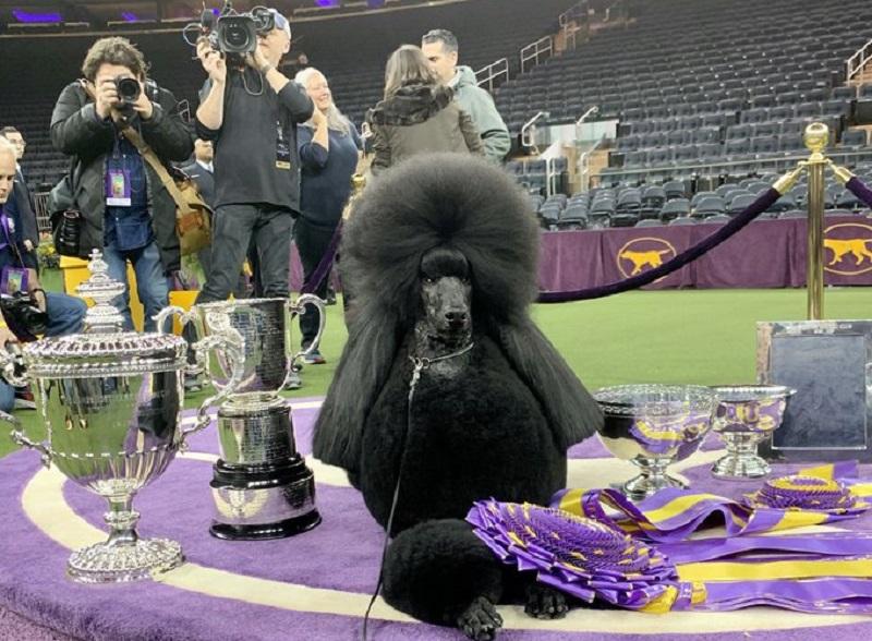 https: img.okezone.com content 2020 02 25 612 2174007 queen-siba-poodle-terbaik-pemenang-kompetisi-westminster-kennel-club-zwPKDAdq9Y.jpg