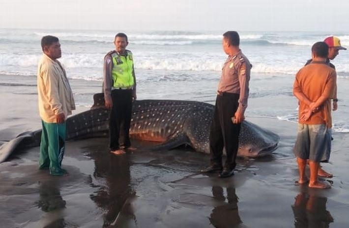 https: img.okezone.com content 2020 02 28 510 2175652 hiu-paus-terdampar-mati-di-pantai-kulonprogo-bksda-ambil-sampel-lSRNm0bpPO.JPG