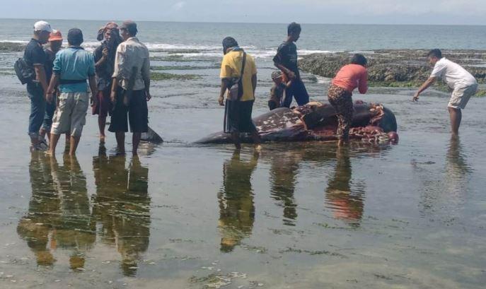 https: img.okezone.com content 2020 03 06 340 2179130 lumba-lumba-4-meter-ditemukan-membusuk-di-pantai-kaur-bengkulu-VLPTKnz8Vq.JPG