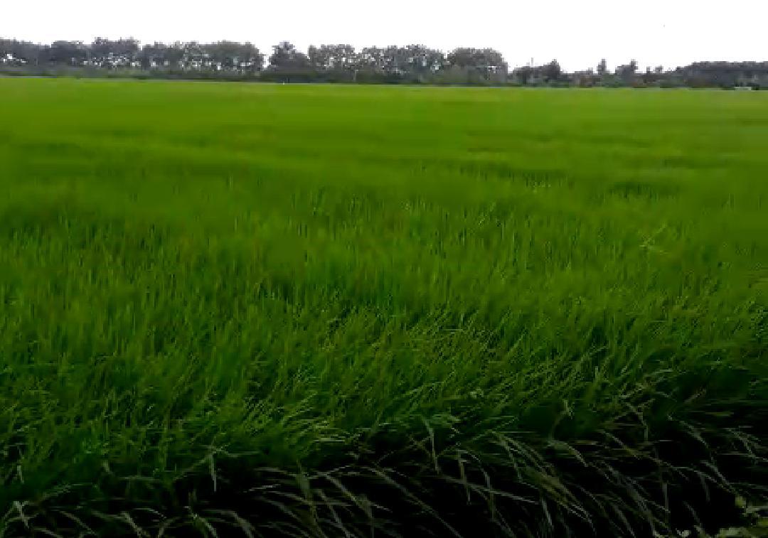 https: img.okezone.com content 2020 03 17 1 2184492 kementan-siap-kembangkan-10-ribu-hektare-padi-kaya-gizi-EFff6OeqkX.jpg
