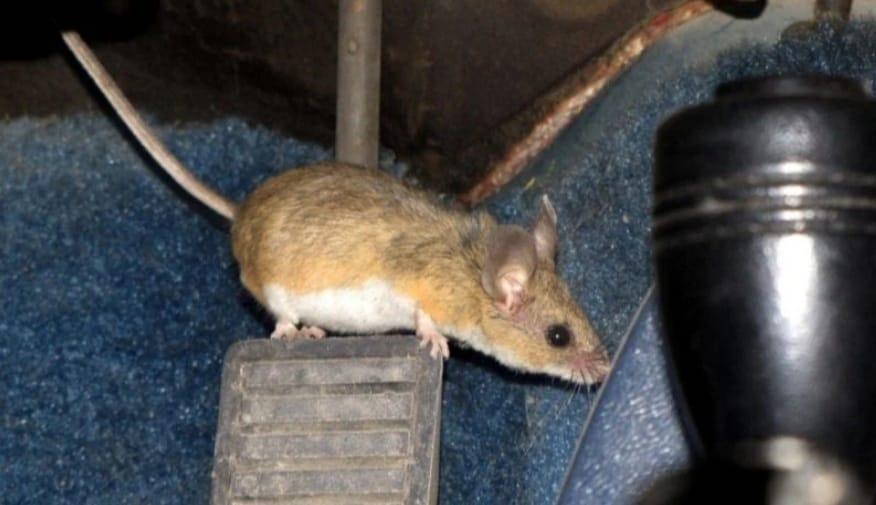 https: img.okezone.com content 2020 05 10 87 2211833 waspada-serangan-tikus-saat-mobil-lama-tidak-digunakan-n9JOGFCcvh.jpeg