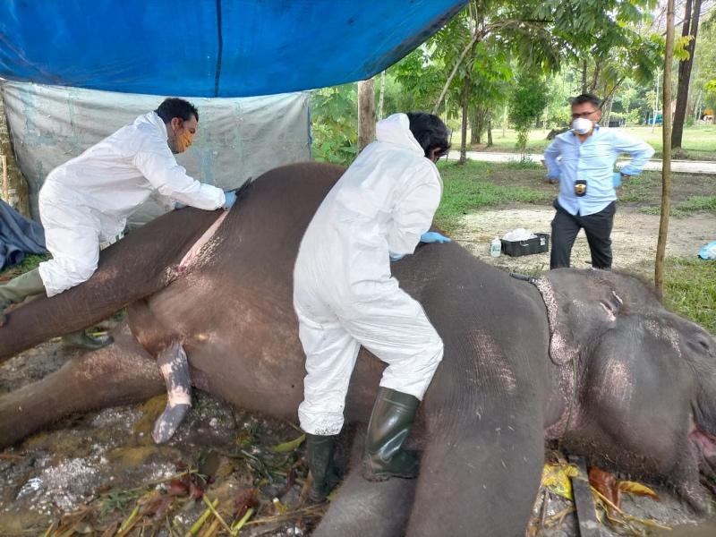 https: img.okezone.com content 2020 05 16 340 2215207 setelah-leopard-gajah-sumatera-di-kebun-binatang-di-riau-mati-RfTS8TPPBN.jpg